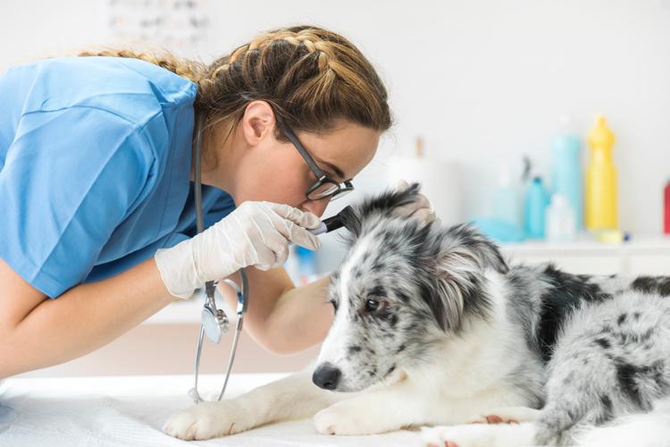 Nueva Charla Online 18/12: Otitis Externa Canina: Prevalencia, Factores de Riesgo, Diagnóstico, Tratamiento y Seguimiento